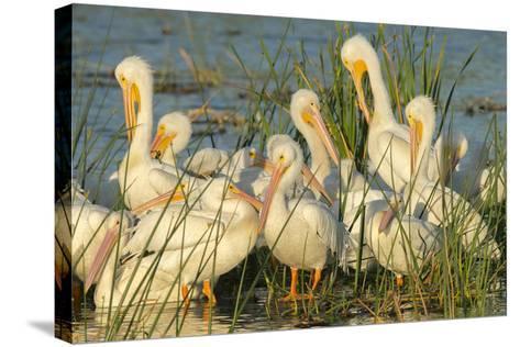 A Congregation of White Pelicans, Viera Wetlands, Florida-Maresa Pryor-Stretched Canvas Print