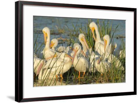 A Congregation of White Pelicans, Viera Wetlands, Florida-Maresa Pryor-Framed Art Print