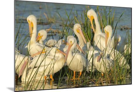A Congregation of White Pelicans, Viera Wetlands, Florida-Maresa Pryor-Mounted Photographic Print