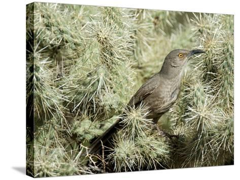 A Curve Billed Thrasher Nesting in a Cholla Cactus, Sonoran Desert-Richard Wright-Stretched Canvas Print