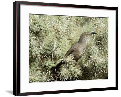 A Curve Billed Thrasher Nesting in a Cholla Cactus, Sonoran Desert-Richard Wright-Framed Art Print