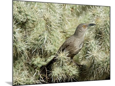 A Curve Billed Thrasher Nesting in a Cholla Cactus, Sonoran Desert-Richard Wright-Mounted Photographic Print