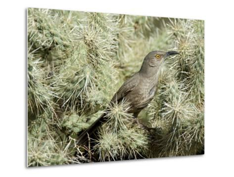 A Curve Billed Thrasher Nesting in a Cholla Cactus, Sonoran Desert-Richard Wright-Metal Print