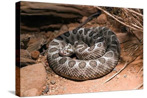 Desert Massasauga Rattlesnake, Sistrurus Catenatus Edwardsi-Susan Degginger-Stretched Canvas Print