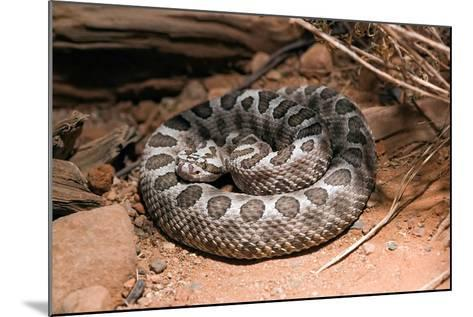 Desert Massasauga Rattlesnake, Sistrurus Catenatus Edwardsi-Susan Degginger-Mounted Photographic Print