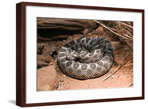 Desert Massasauga Rattlesnake, Sistrurus Catenatus Edwardsi-Susan Degginger-Framed Art Print