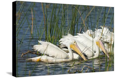 A Flock of White Pelicans in Line Feeding, Viera Wetlands, Florida-Maresa Pryor-Stretched Canvas Print
