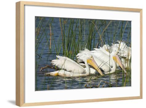 A Flock of White Pelicans in Line Feeding, Viera Wetlands, Florida-Maresa Pryor-Framed Art Print