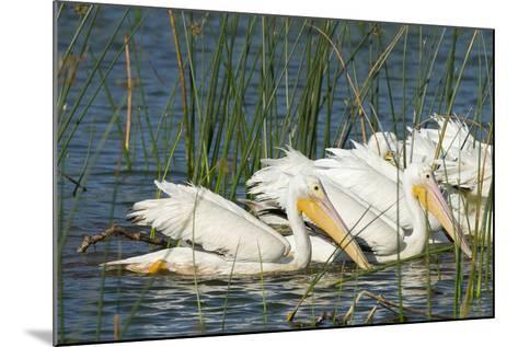 A Flock of White Pelicans in Line Feeding, Viera Wetlands, Florida-Maresa Pryor-Mounted Photographic Print