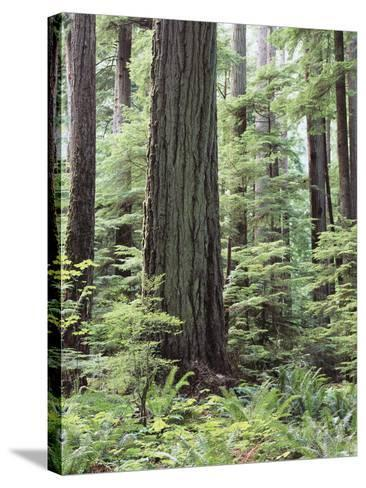 Vancouver Island, Old Growth Douglas Fir in Cathedral Grove-Christopher Talbot Frank-Stretched Canvas Print