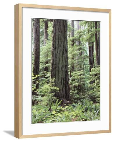 Vancouver Island, Old Growth Douglas Fir in Cathedral Grove-Christopher Talbot Frank-Framed Art Print