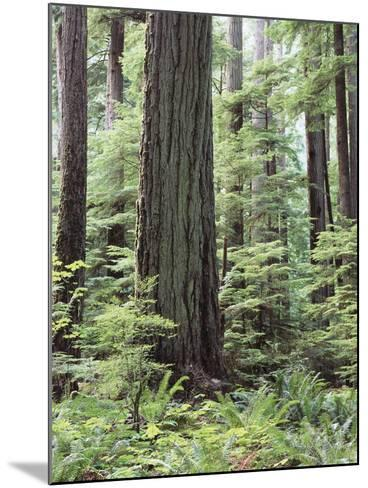Vancouver Island, Old Growth Douglas Fir in Cathedral Grove-Christopher Talbot Frank-Mounted Photographic Print
