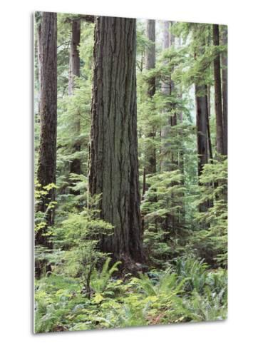 Vancouver Island, Old Growth Douglas Fir in Cathedral Grove-Christopher Talbot Frank-Metal Print
