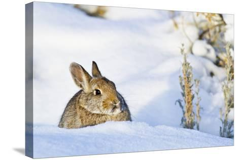 Wyoming, Sublette County, Nuttalls Cottontail Rabbit Sitting in Snow-Elizabeth Boehm-Stretched Canvas Print