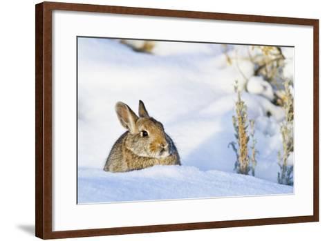 Wyoming, Sublette County, Nuttalls Cottontail Rabbit Sitting in Snow-Elizabeth Boehm-Framed Art Print
