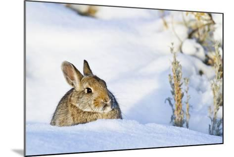 Wyoming, Sublette County, Nuttalls Cottontail Rabbit Sitting in Snow-Elizabeth Boehm-Mounted Photographic Print
