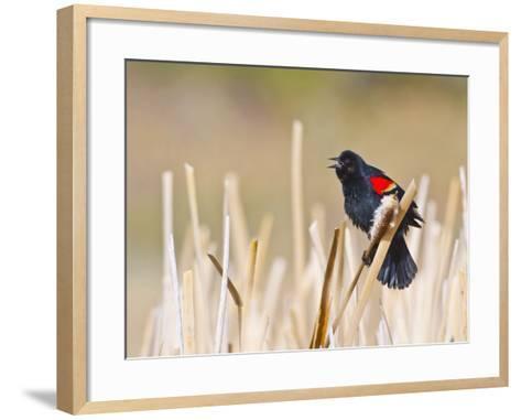 Wyoming, Sublette County, Red Winged Blackbird Singing in Marsh-Elizabeth Boehm-Framed Art Print