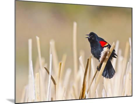 Wyoming, Sublette County, Red Winged Blackbird Singing in Marsh-Elizabeth Boehm-Mounted Photographic Print