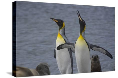 South Georgia. Stromness. King Penguin Calling for its Mate-Inger Hogstrom-Stretched Canvas Print
