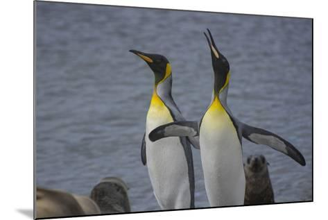South Georgia. Stromness. King Penguin Calling for its Mate-Inger Hogstrom-Mounted Photographic Print