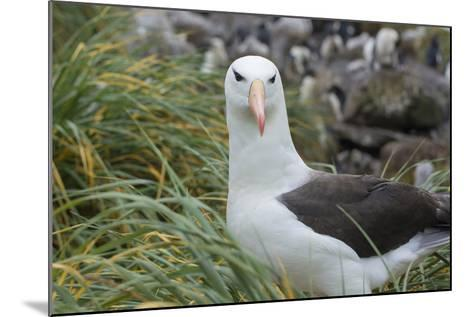 Falkland Islands. West Point Island. Black Browed Albatross-Inger Hogstrom-Mounted Photographic Print