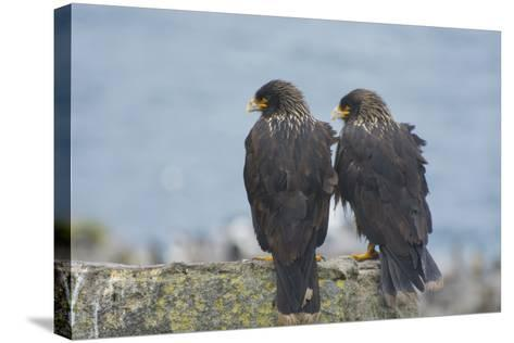 Falkland Islands. West Point Island. Striated Caracara Pair-Inger Hogstrom-Stretched Canvas Print