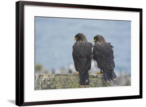 Falkland Islands. West Point Island. Striated Caracara Pair-Inger Hogstrom-Framed Art Print