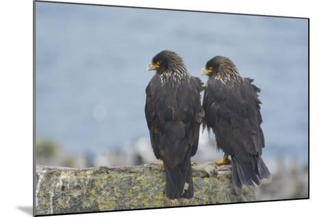 Falkland Islands. West Point Island. Striated Caracara Pair-Inger Hogstrom-Mounted Photographic Print