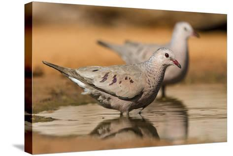 Hidalgo County, Texas. Common Ground Dove Drinking-Larry Ditto-Stretched Canvas Print