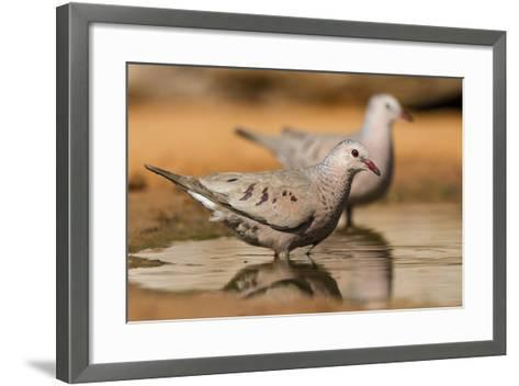 Hidalgo County, Texas. Common Ground Dove Drinking-Larry Ditto-Framed Art Print