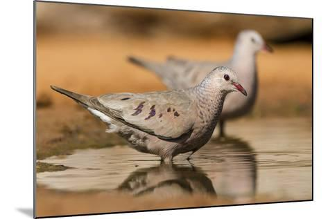 Hidalgo County, Texas. Common Ground Dove Drinking-Larry Ditto-Mounted Photographic Print