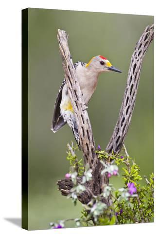 Hidalgo County, Texas. Golden Fronted Woodpecker in Habitat-Larry Ditto-Stretched Canvas Print