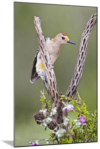 Hidalgo County, Texas. Golden Fronted Woodpecker in Habitat-Larry Ditto-Mounted Photographic Print