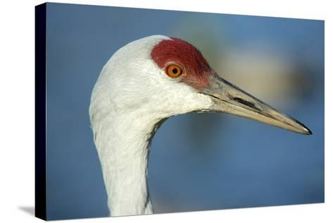 Sandhill Crane, Grus Canadensis Close Up of Head-Richard Wright-Stretched Canvas Print