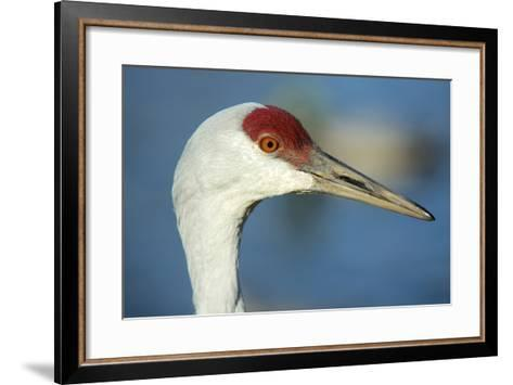 Sandhill Crane, Grus Canadensis Close Up of Head-Richard Wright-Framed Art Print