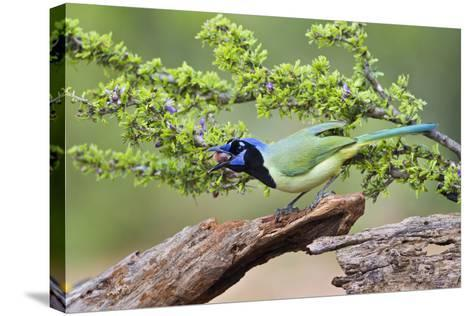 Starr County, Texas. Green Jay, Cyanocorax Yncas, Eating Acorn-Larry Ditto-Stretched Canvas Print
