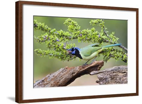 Starr County, Texas. Green Jay, Cyanocorax Yncas, Eating Acorn-Larry Ditto-Framed Art Print