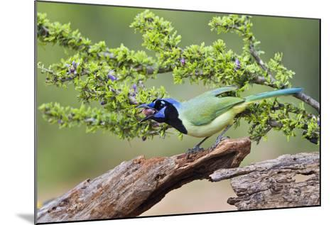 Starr County, Texas. Green Jay, Cyanocorax Yncas, Eating Acorn-Larry Ditto-Mounted Photographic Print
