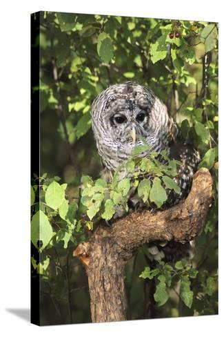 USA, Montana, Kalispell. Barred Owl in Tree at Triple D Game Farm-Jaynes Gallery-Stretched Canvas Print