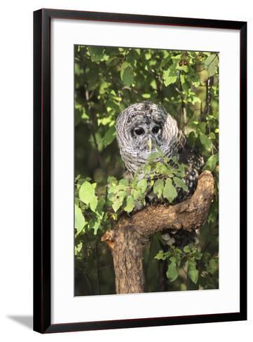 USA, Montana, Kalispell. Barred Owl in Tree at Triple D Game Farm-Jaynes Gallery-Framed Art Print