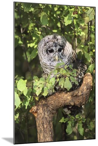 USA, Montana, Kalispell. Barred Owl in Tree at Triple D Game Farm-Jaynes Gallery-Mounted Photographic Print