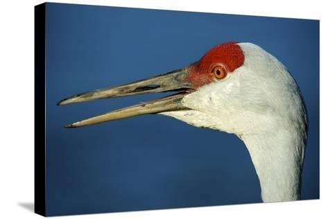 Sandhill Crane, Grus Canadensis with Beak Open in Call-Richard Wright-Stretched Canvas Print