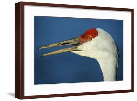 Sandhill Crane, Grus Canadensis with Beak Open in Call-Richard Wright-Framed Art Print