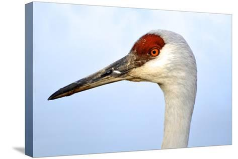 Sandhill Crane, Grus Canadensis, Close Up of Heads-Richard Wright-Stretched Canvas Print