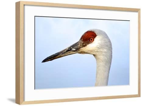 Sandhill Crane, Grus Canadensis, Close Up of Heads-Richard Wright-Framed Art Print