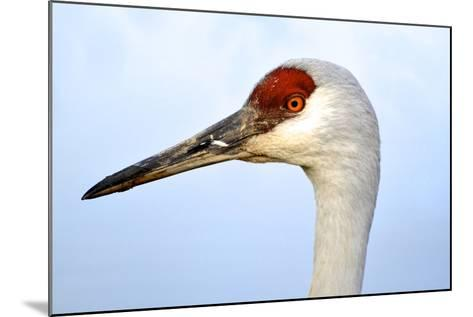 Sandhill Crane, Grus Canadensis, Close Up of Heads-Richard Wright-Mounted Photographic Print