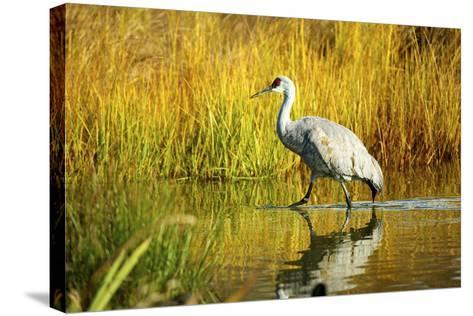 Sandhill Crane, Grus Canadensis, Stalking in Marsh-Richard Wright-Stretched Canvas Print
