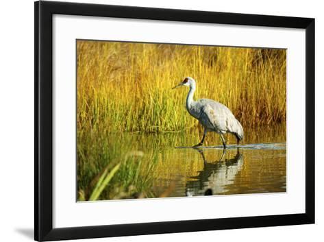 Sandhill Crane, Grus Canadensis, Stalking in Marsh-Richard Wright-Framed Art Print