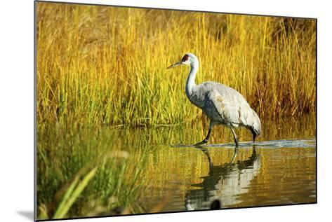 Sandhill Crane, Grus Canadensis, Stalking in Marsh-Richard Wright-Mounted Photographic Print