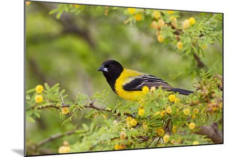 Santa Clara Ranch, Starr County, Texas. Audubons Oriole Perched-Larry Ditto-Mounted Photographic Print